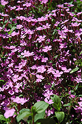 Rock Soapwort (Saponaria ocymoides) at Spruce It Up Garden Centre
