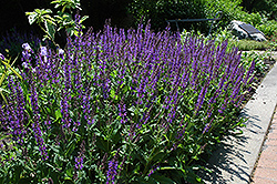Showy Catmint (Nepeta grandiflora) at Spruce It Up Garden Centre