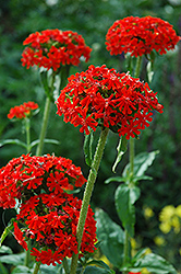 Maltese Cross (Lychnis chalcedonica) at Spruce It Up Garden Centre
