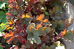 Chocolate Ruffles Coral Bells (Heuchera 'Chocolate Ruffles') at Spruce It Up Garden Centre