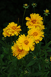 Early Sunrise Tickseed (Coreopsis 'Early Sunrise') at Spruce It Up Garden Centre