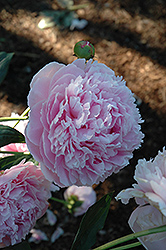 Shirley Temple Peony (Paeonia 'Shirley Temple') at Spruce It Up Garden Centre