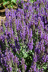 Marcus Sage (Salvia nemorosa 'Marcus') at Spruce It Up Garden Centre