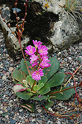 Bitterroot (Lewisia cotyledon) at Spruce It Up Garden Centre