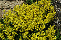 Golden Moss Stonecrop (Sedum acre) at Spruce It Up Garden Centre
