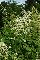 Goatsbeard (Aruncus dioicus) at Spruce It Up Garden Centre