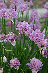 Chives (Allium schoenoprasum) at Spruce It Up Garden Centre