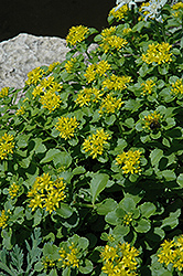 Russian Stonecrop (Sedum kamtschaticum) at Spruce It Up Garden Centre
