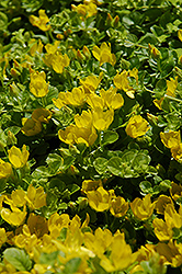 Creeping Jenny (Lysimachia nummularia) at Spruce It Up Garden Centre