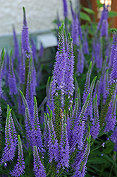 Sunny Border Blue Speedwell (Veronica 'Sunny Border Blue') at Spruce It Up Garden Centre