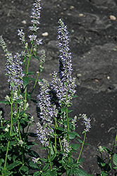 Anise Hyssop (Agastache foeniculum) at Spruce It Up Garden Centre