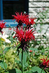 Jacob Cline Beebalm (Monarda 'Jacob Cline') at Spruce It Up Garden Centre