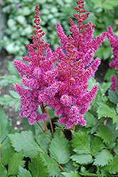 Visions Astilbe (Astilbe chinensis 'Visions') at Spruce It Up Garden Centre