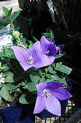 Astra Blue Balloon Flower (Platycodon grandiflorus 'Astra Blue') at Spruce It Up Garden Centre
