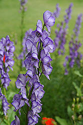 Common Monkshood (Aconitum napellus) at Spruce It Up Garden Centre