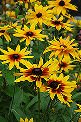 Becky Coneflower (Rudbeckia hirta 'Becky') at Spruce It Up Garden Centre