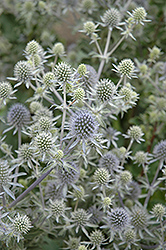 Alpine Sea Holly (Eryngium alpinum) at Spruce It Up Garden Centre