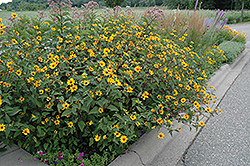 Prairie Sunset False Sunflower (Heliopsis helianthoides 'Prairie Sunset') at Spruce It Up Garden Centre