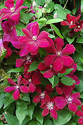Rouge Cardinal Clematis (Clematis 'Rouge Cardinal') at Spruce It Up Garden Centre