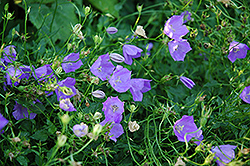 Carpathain Bellflower (Campanula carpatica) at Spruce It Up Garden Centre