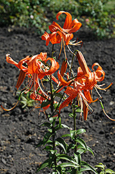 Tiger Lily (Lilium lancifolium) at Spruce It Up Garden Centre