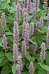 Blue Fortune Anise Hyssop (Agastache 'Blue Fortune') at Spruce It Up Garden Centre