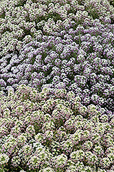 Pastel Carpet Alyssum (Lobularia maritima 'Pastel Carpet') at Spruce It Up Garden Centre