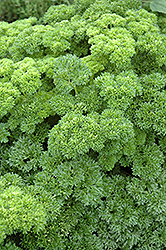 Parsley (Petroselinum crispum) at Spruce It Up Garden Centre