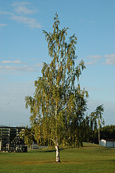 Cutleaf Weeping Birch (Betula pendula 'Dalecarlica') at Spruce It Up Garden Centre