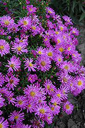 Purple Beauty Aster (Aster 'Purple Beauty') at Spruce It Up Garden Centre