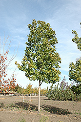 Unity Sugar Maple (Acer saccharum 'Unity') at Spruce It Up Garden Centre