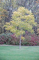 Kentucky Coffeetree (Gymnocladus dioicus) at Spruce It Up Garden Centre