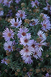 Woods Blue Aster (Aster 'Woods Blue') at Spruce It Up Garden Centre