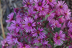 Woods Pink Aster (Aster 'Woods Pink') at Spruce It Up Garden Centre