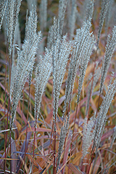 Flame Grass (Miscanthus sinensis 'Purpurascens') at Spruce It Up Garden Centre