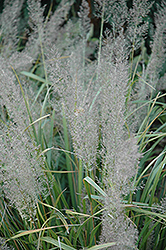 Korean Reed Grass (Calamagrostis brachytricha) at Spruce It Up Garden Centre
