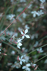 Karalee White Gaura (Gaura lindheimeri 'Karalee White') at Spruce It Up Garden Centre