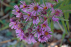 New England Aster (Aster novae-angliae) at Spruce It Up Garden Centre