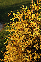 Yellow Ribbon Arborvitae (Thuja occidentalis 'Yellow Ribbon') at Spruce It Up Garden Centre
