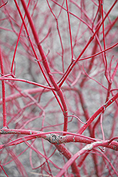 Siberian Dogwood (Cornus alba 'Sibirica') at Spruce It Up Garden Centre