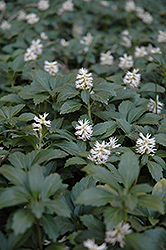 Japanese Spurge (Pachysandra terminalis) at Spruce It Up Garden Centre