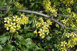 Golden Flowering Currant (Ribes aureum) at Spruce It Up Garden Centre