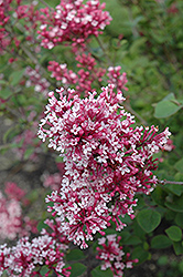 Tinkerbelle Lilac (Syringa 'Tinkerbelle') at Spruce It Up Garden Centre