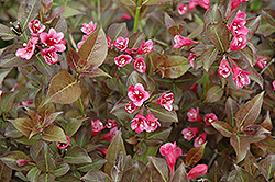Tango Weigela (Weigela florida 'Tango') at Spruce It Up Garden Centre