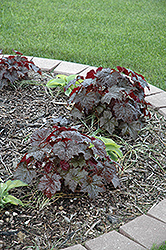 Palace Purple Coral Bells (Heuchera micrantha 'Palace Purple') at Spruce It Up Garden Centre