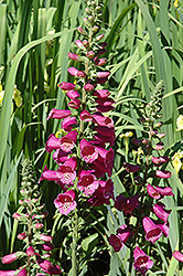 Camelot Rose Foxglove (Digitalis purpurea 'Camelot Rose') at Spruce It Up Garden Centre