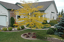 Prairie Silk Honeylocust (Gleditsia triacanthos 'Prairie Silk') at Spruce It Up Garden Centre