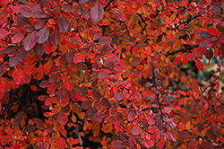 Rose Glow Japanese Barberry (Berberis thunbergii 'Rose Glow') at Spruce It Up Garden Centre