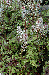Sugar And Spice Foamflower (Tiarella 'Sugar And Spice') at Spruce It Up Garden Centre