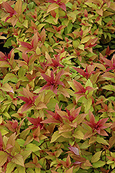 Goldflame Spirea (Spiraea x bumalda 'Goldflame') at Spruce It Up Garden Centre